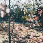 """Mùa xuân – rực rỡ sắc hồng """"Mai anh đào"""""""