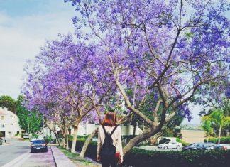 Mùa hè – mộng mơ màu phượng tím