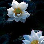 Với cách tiếp cận của mỗi nhiếp ảnh gia, loài hoa này lại được khai thác ở các góc nhìn khác nhau