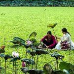 Màu xanh mướt của một đầm sen ở làng quê Việt