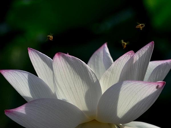 Cái nóng gắt gỏng của mùa hè khiến cho đầm sen thêm phần sôi động