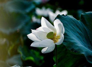 Sen làm lòng người lắng lại, dịu dàng cùng sắc xanh dịu dàng