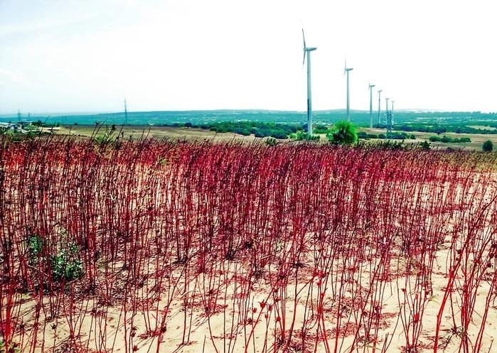 Cánh đồng quạt gió Tuy Phong