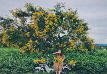 Ngắm hoa muồng vàng rực cả một góc trời Gia Lai