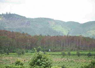 Bắt 3 đối tượng liên quan tới vụ hàng nghìn cây thông bị đầu độc ở Lâm Đồng